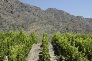 Grapevines, Cafayate, province of Salta, Argentina