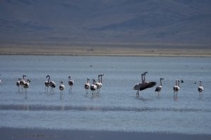 "Flamingoes about to take off, on the ""Laguna de Pozuelos"", Jujuy"
