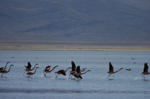 "Flamingoes about to take off, on the ""Laguna de Pozuelos"""